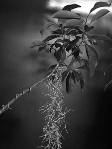 DoA 5spagnum bonsai